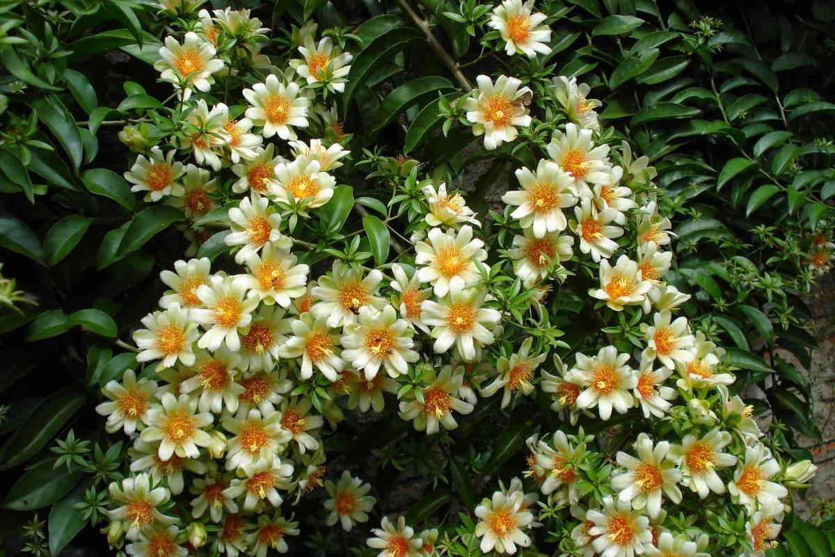 1 Planta De Pereskia Aculeata Flores Hermosas Y Raras 10000