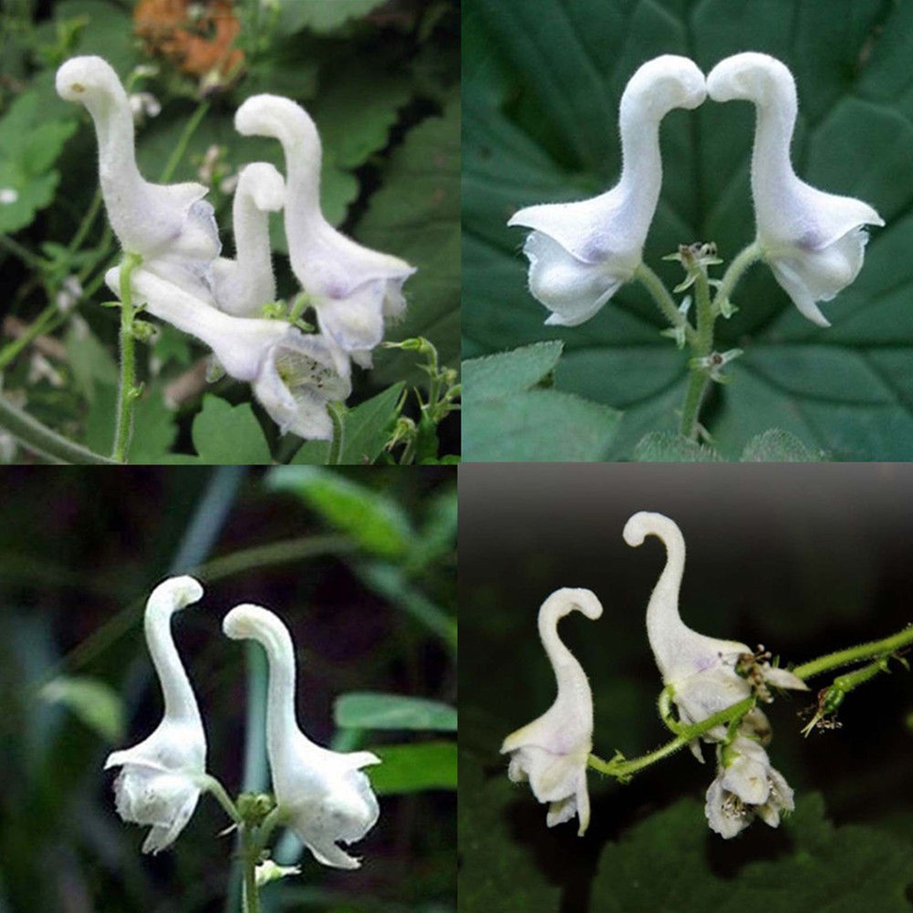 100 Pc Raras Cisne Flores Semillas De Flores Blancas Decorac