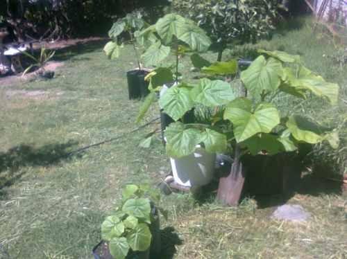 10000 semillas de kiri. envios a todo el pais. paulownia