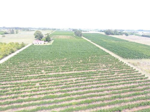 11hás 1303m2 de viñedos en producción
