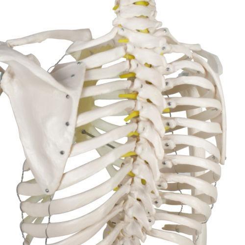180cm Anatomía Humana Anatomía Esqueleto Modelo-291772780244 ...