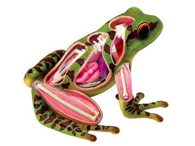 4d Master Modelo Anatómico Rana Animal 4d Vision - $ 849.99 en ...