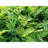 Plantines De Acacia