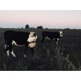 Vacas Preñadas Y Vaquillonas Vacías