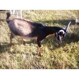 Chivos Cabras