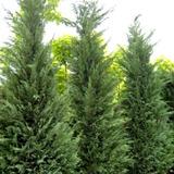 Cipres - Venta Minima 100 Plantines