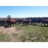 Terneros Terneras Y Vacas