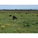 Pastoreo Para Vacas A 20 Minutos De Montevideo