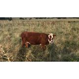 Vacas Preñadas