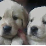 Cachorros Golden Retriver Pronto Pra Entregar