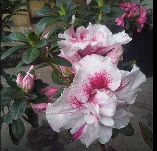 Planta Rosa Azul Plantas Flores Azaleas Plantas En Montevideo En Mercado Libre Uruguay