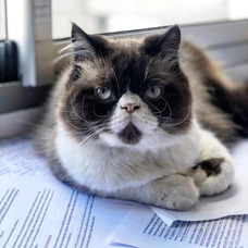 Gato Persa Con Pedigree Para Monta