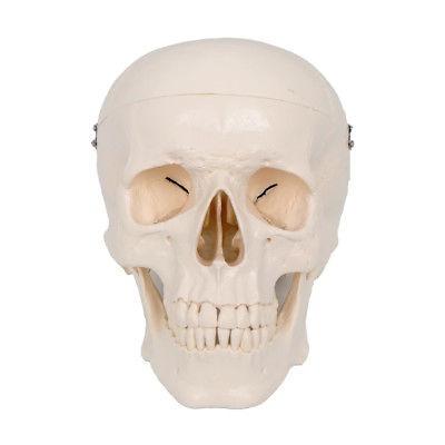 Cráneo De Cabeza Humana Anatomía Del Cerebro Modelo Anatómic