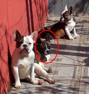 Bulldog Frances Hembra Lista Para Entregar