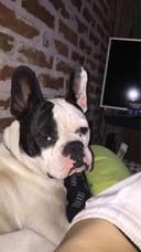 Bulldog Francés Para Monta