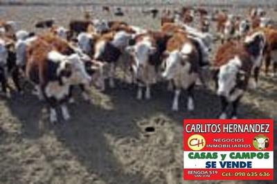 Campo Ganadero P Arrendar 1.000 Has Paysandu U$ 69./ha