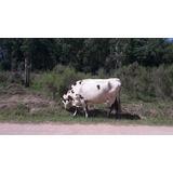 Vaca Con Cria .ternera De 2 Meses