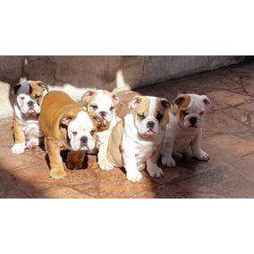 Se Venden Cachorros Bull Dog Ingles