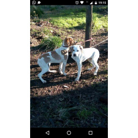 Cachorro Pointer Ingles - 14 Meses - Padres Cazadores