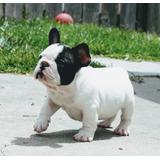 55ec078db554b Bulldog Pushy - Perros y Cachorros en Mercado Libre México