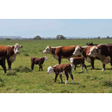 Toros Vacas Novillos Terneros