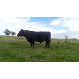 Aberdeen Angus Negro Toro Novillo Vaca Ternero Ternera