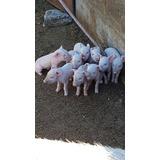 Chanchos Tres Meses Y Chanchitos Recién Nacidos Cerdos