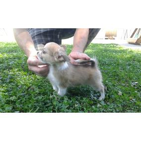 Criadero de chihuahua mini pelo largo
