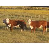 Vaca Y Terneras