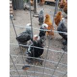 Pollos De Campo Y De Razas