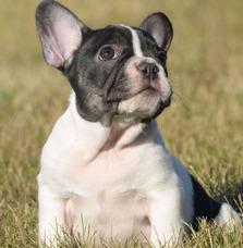 af7db75e429dc Perros Mini Toy Adopcion Gratis - Perros Bulldog Francés en Mercado ...