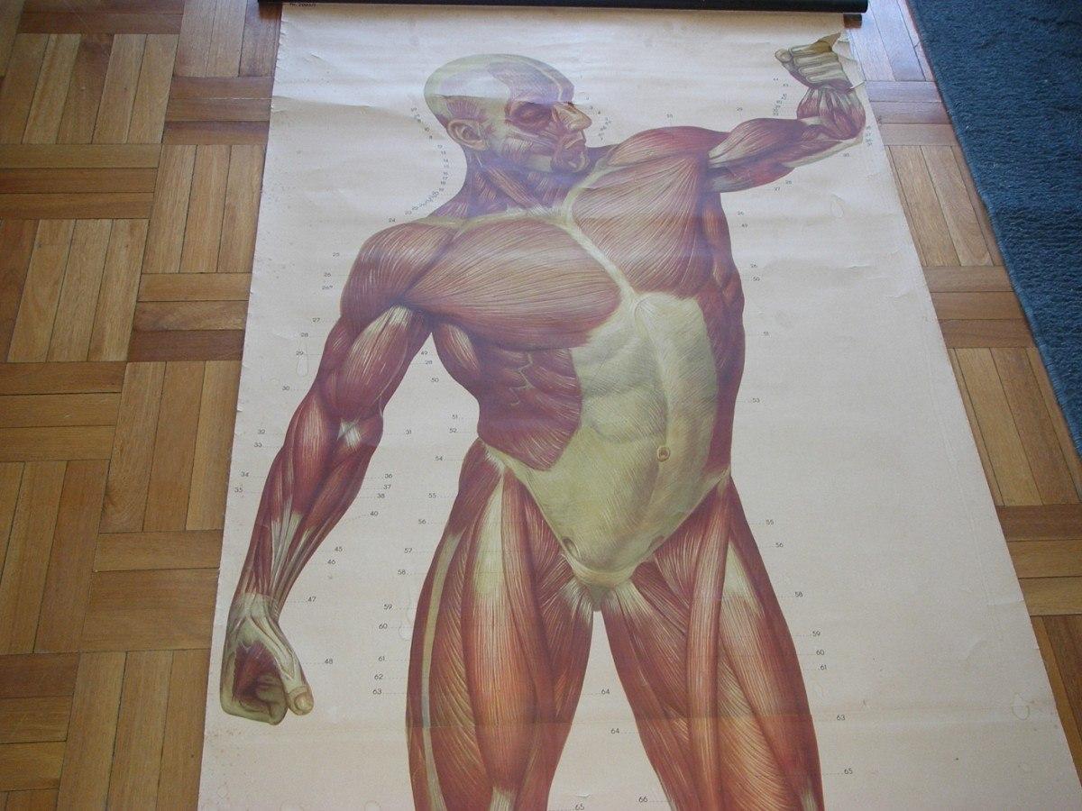 Anatomia Humana Antiguo Poster Cartel Didactico - $ 5.000,00 en ...