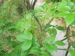 arbol de sombra - fresno americano blanco -alt 1,70 mt.aprox