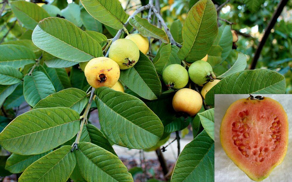arbol frutal guayabo brasilero psidium guajava 400
