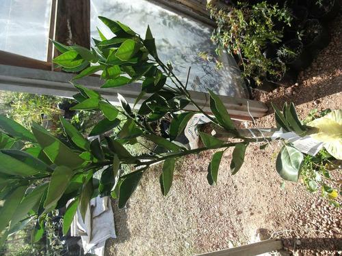 arbol naranjo naranjero+tierra abo gratis envio gratis mvd