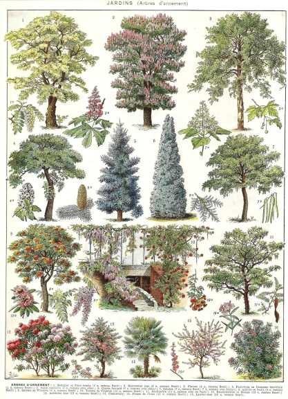 Arboles de jardin ornamentales lamina 45 x 30 cm for Arboles ornamentales jardin