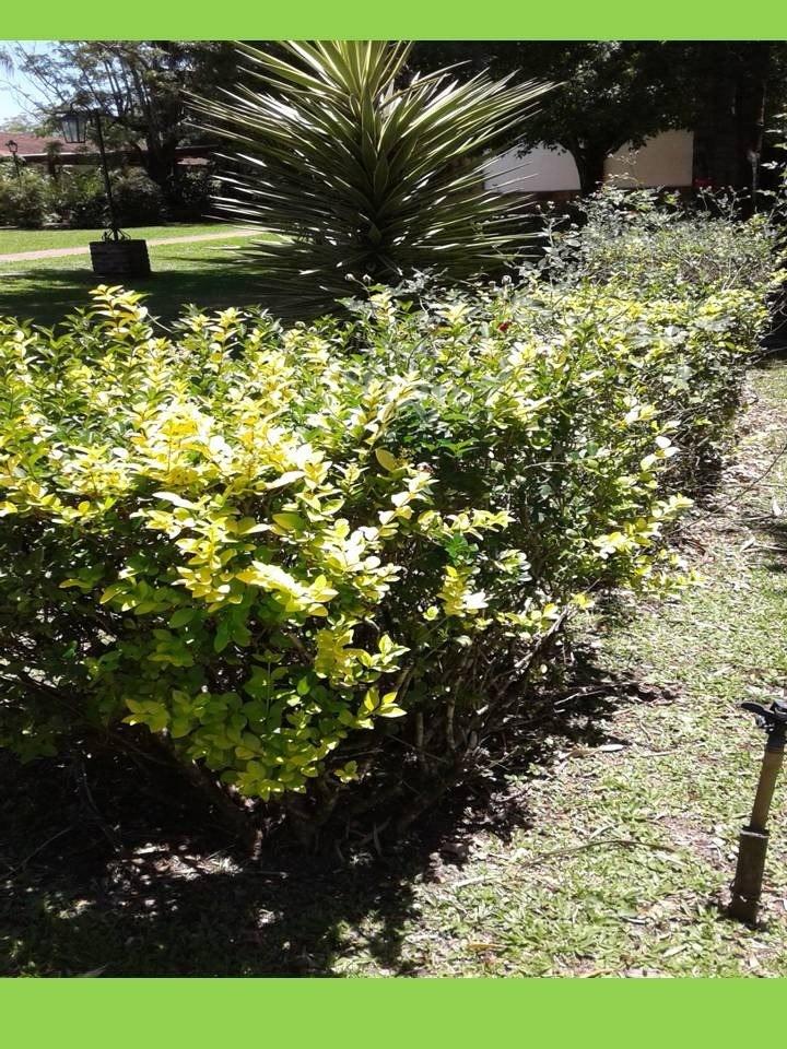 Arbustos perennes coloridos para cerco r pidos precio x - Arbustos perennes para jardin ...