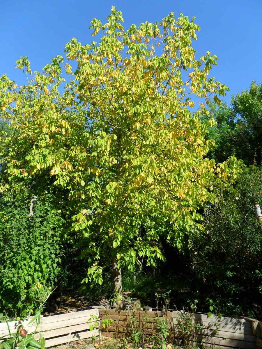 Arce rbol follaje oto al dorado crece r pido ideal for Arboles de crecimiento rapido para sombra