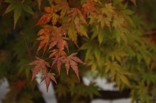 arce japonés, acer palmatum 1m, árboles, vivero, paisajismo