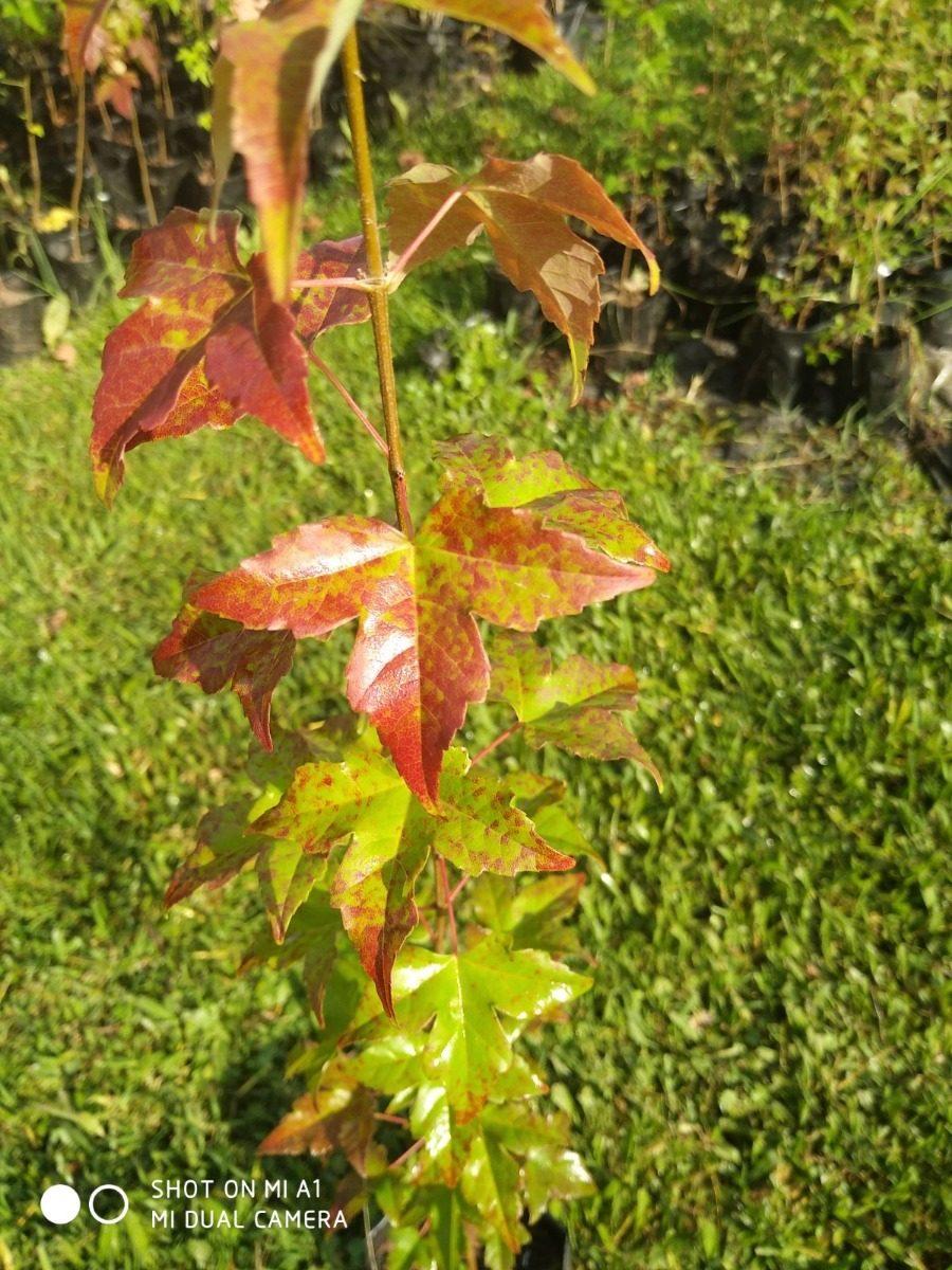 Arce Tridente O Rojo Acer Buergerianum 1m árboles Vivero 300