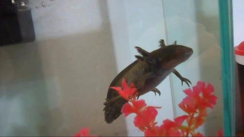 axolotes bebes sin sexar, peces