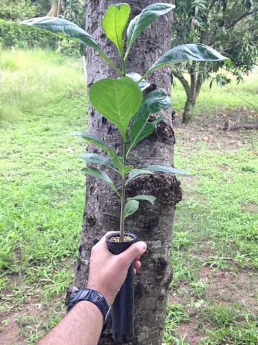 baobá - africano (adansonia digitata)