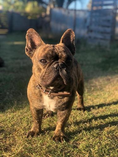 bull dog francés para monta