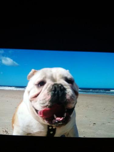 bulldog ingles para  ( monta)