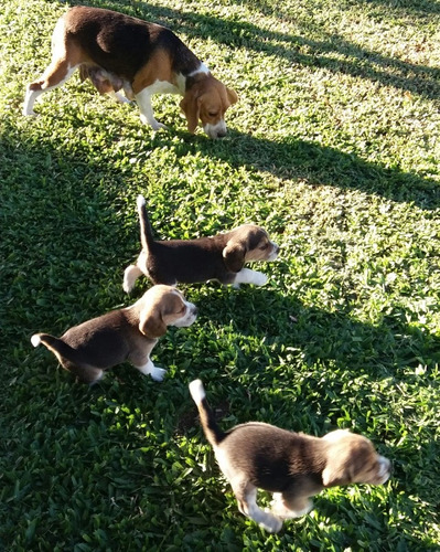 cachorras beagles
