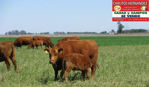 campo 3.500 ha para arrendar paysandu --  proximo ingreso