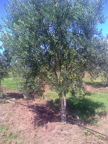 campo de olivos y alfalfa a 15 minutos de punta del este