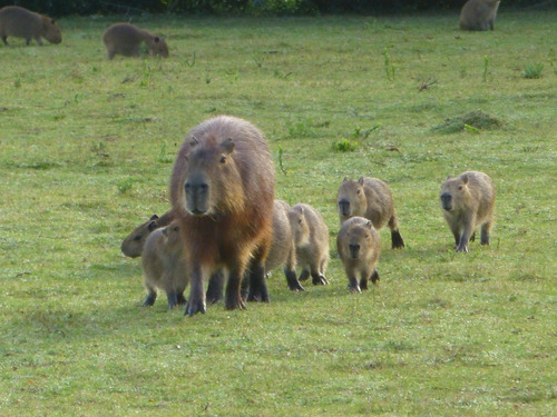 carpinchos o capibaras de criadero granja habilitado