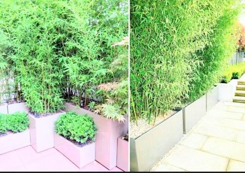 cercos de plantas de cañas tacuara / bamboo / bambú