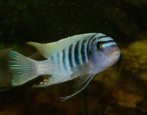 combo de 8 peces africanos (agua templada)